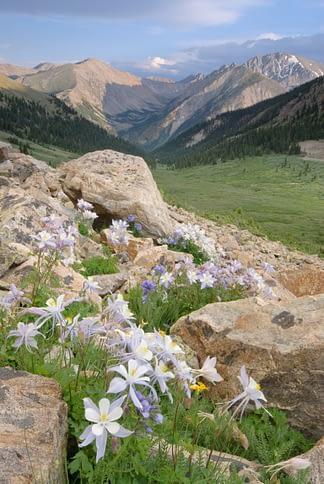 Columbine in the Sawatch Range