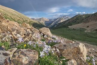 Columbine in the Sawatch Range II