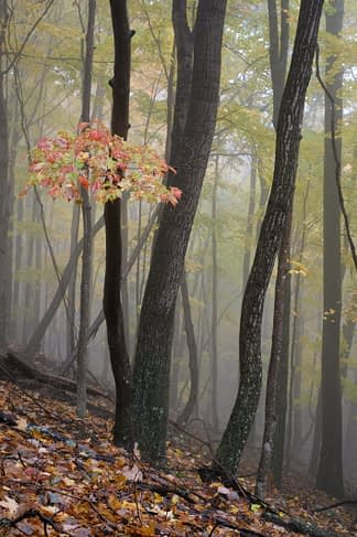 Maple in Mist