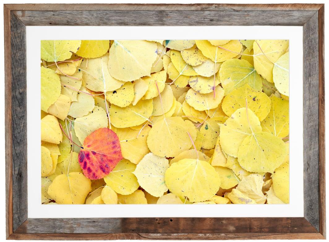 Fallen Aspen Leaves