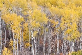 Weathered Aspens