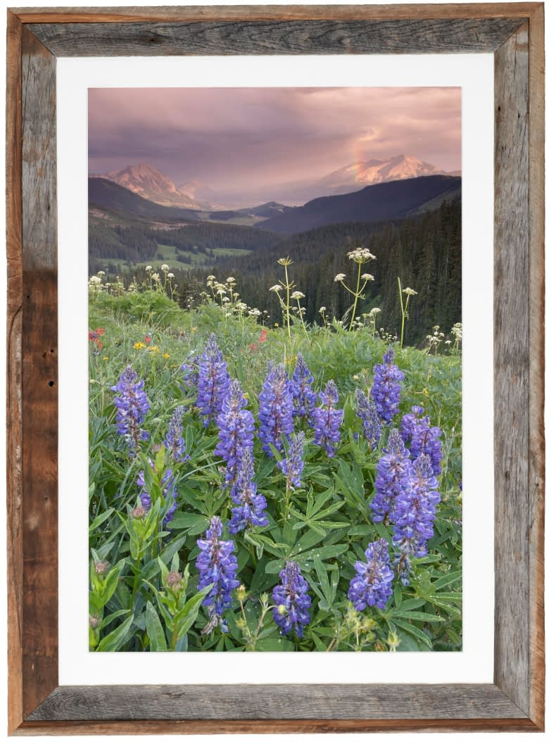 Lupine-and-Afternoon-Rainshower