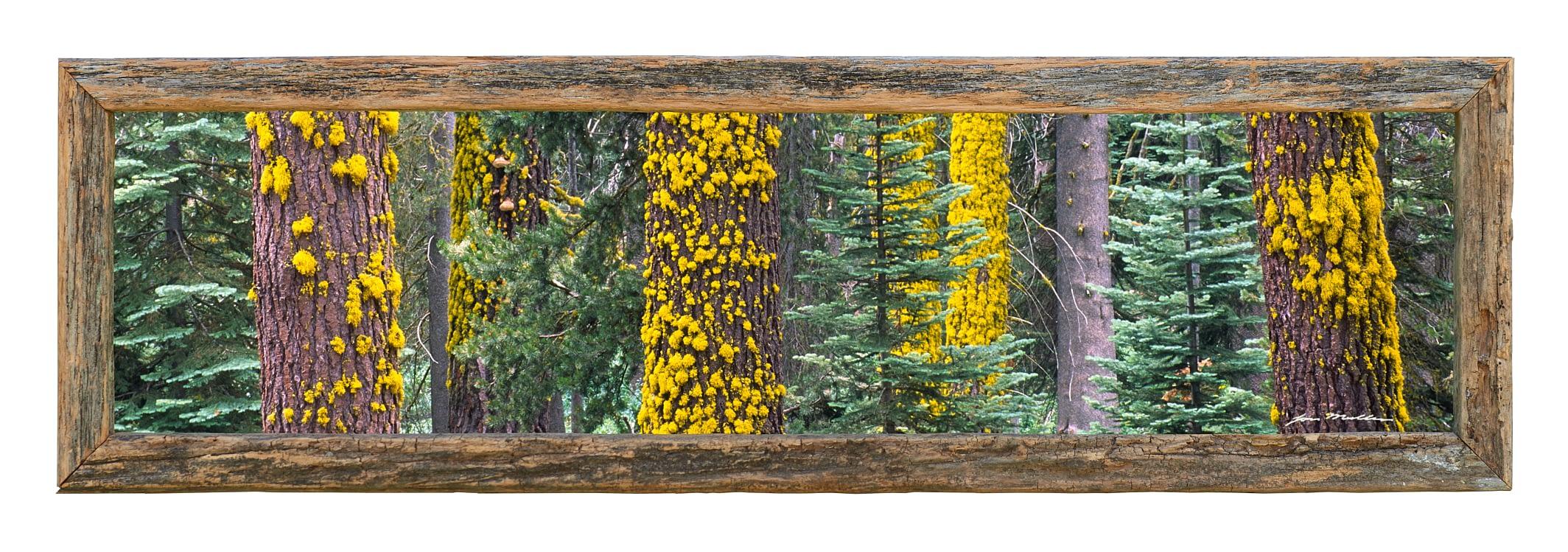 Sliver of Sequoia - Framed
